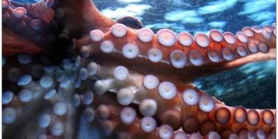 Могат ли пипалата на октопода да вземат решения независимо от мозъка? (видео)